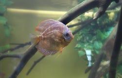 Exotischer Seefisch im Aquarium, Russland lizenzfreie stockbilder