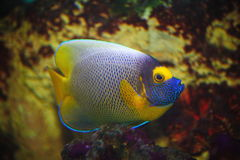 Exotischer tropischer Fischchirurg Stockbild