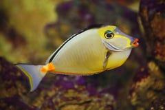 Exotischer tropischer Fischchirurg Lizenzfreies Stockbild