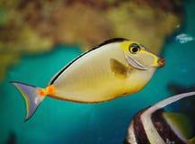 Exotischer tropischer Fischchirurg Stockfotos