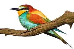 Exotischer Vogel auf einer Niederlassung lokalisiert auf Weiß Lizenzfreie Stockbilder
