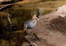 Exotischer Vogel, der durch den See aufwirft lizenzfreie stockfotografie