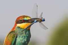 Exotischer Vogel mit blauer Libelle im Schnabel Lizenzfreie Stockbilder