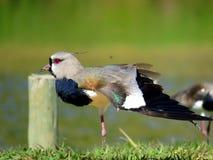 Exotischer Vogel Vanellus chilensis Stockfotografie