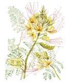 Exotisches Gelb blüht Caesalpinia Gezeichnete botanische Illustration des Aquarells Hand von den Blumen lokalisiert auf einem Wei Lizenzfreie Stockfotos