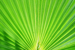 Exotisches Palmblatt Stockfoto