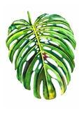 Exotisches Palmblatt Lizenzfreie Stockfotografie