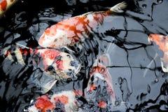 Exotisches tierisches tropisches Aquarium der wild lebenden Tiere der Fische Farb Lizenzfreies Stockbild
