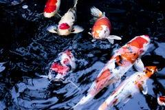 Exotisches tierisches tropisches Aquarium der wild lebenden Tiere der Fische Farb Stockfotografie