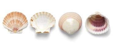 Exotisches Tritonshorn der Sammlung lokalisiert auf weißem Hintergrund Lizenzfreies Stockfoto