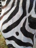 Exotisches Zebra stockbild
