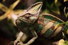 Exotisk älsklings- ödla på naturlig bakgrund som är defocused Kameleont på filialer royaltyfria foton
