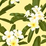 Exotisk blomma. Pulmeria 3 Arkivfoton