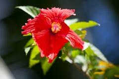 exotisk blommared Arkivfoto