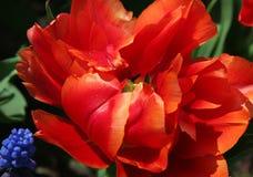 exotisk blommatulpan Fotografering för Bildbyråer