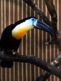 Exotisk färgrik fågel med en stor näbb toucan Royaltyfri Fotografi