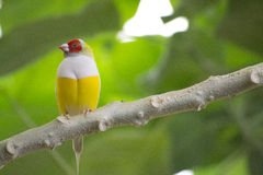 Exotisk fågel Gouldian Finche Arkivfoton