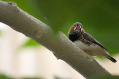 Exotisk fågel Gouldian Finche Fotografering för Bildbyråer