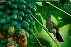 Exotisk fågel i den härliga naturlivsmiljön Rufous-vädrade Chachalaca, Ortalisruficauda som sitter på trädfilialen gammal kokosnö Arkivfoton