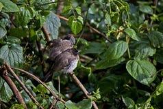 Exotisk fågel i Kenya Arkivbild