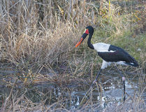 Exotisk fågel som går till och med vasser Royaltyfri Foto