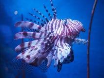 exotisk fisk Royaltyfri Fotografi