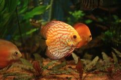 exotisk fisk Arkivfoton
