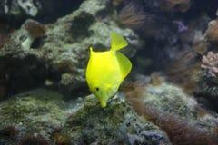 exotisk fisk Arkivfoto