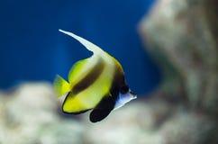 exotisk fisk Bannerfish Heniochus monoceros i det tropiska vattnet av havet Royaltyfri Foto