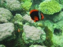 Exotisk fisk, El Nido, Filippinerna Royaltyfria Foton