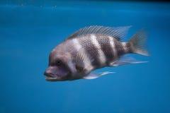 exotisk fisk för akvarium Arkivbilder