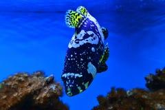 Exotisk fisk för hav Royaltyfria Foton