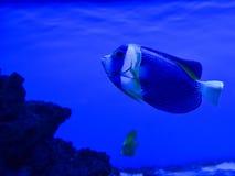 Exotisk fisk för hav Fotografering för Bildbyråer