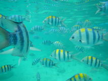 Exotisk fisk, Filippinerna Fotografering för Bildbyråer
