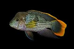 Exotisk fisk i akvarium Arkivbild