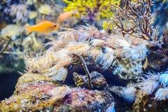 Exotisk fisk i marin- akvarium Arkivfoton