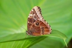 exotisk fjäril Arkivfoto