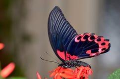 Exotisk fjäril i naturlig livsmiljö Royaltyfri Foto
