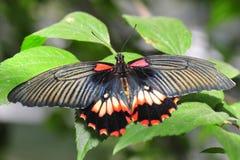 Exotisk fjäril med ljusa färgrika vingar Arkivbilder