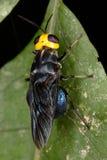 Exotisk fluga på ett blad av trädet Royaltyfri Fotografi