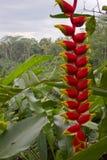 Exotisk Heliconia blomma i djungeln av Bali Arkivfoto