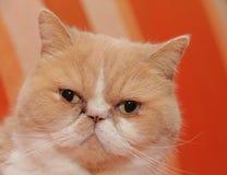 exotisk katt Arkivbilder