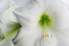 exotisk liljawhite Royaltyfria Foton