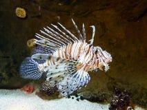 Exotisk Lionfish-sebra simning i stort akvarium Fotografering för Bildbyråer