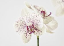 Exotisk orkidéskönhet i höjdpunkttangent Royaltyfri Bild