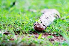 Exotisk orm i gräset Arkivfoto