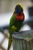 exotisk papegoja Fotografering för Bildbyråer