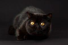exotisk perser för svart katt royaltyfri bild
