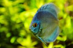 Exotisk sötvattensfiskblåttdiskus på grön bakgrund arkivfoto