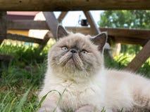 Exotisk Shorthair katt på naturen arkivfoton